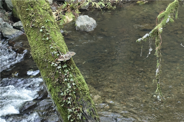 Coho Salmon in Lagunitas Creek (center of picture)
