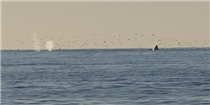 Gray Whales at Waddell Beach