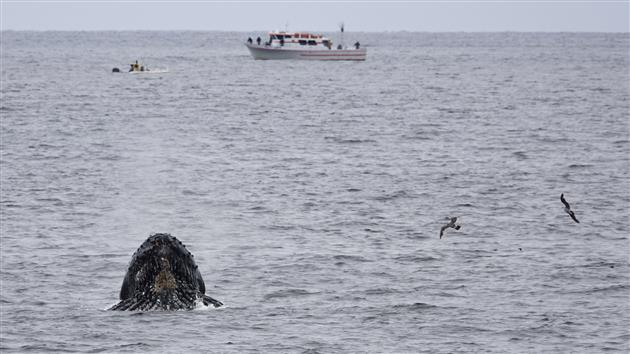Humpback Whale Feasting off Rockaway Beach in Pacifica
