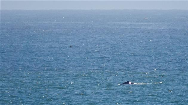 Humpback Whale at Fort Funston