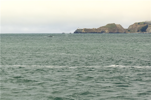 Humpback Whales in Golden Gate