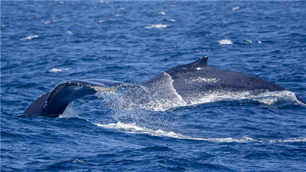 Humpback Whales in Monterey Bay