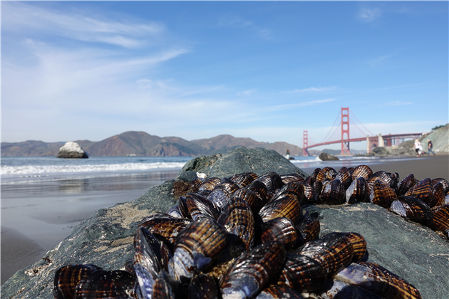 Mussels at Marshall's Beach