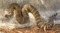 Northern Pacific Rattlesnake at Fort Baker, Marin County, California