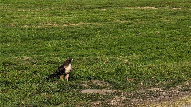 Red-Tailed Hawk vs Gopher