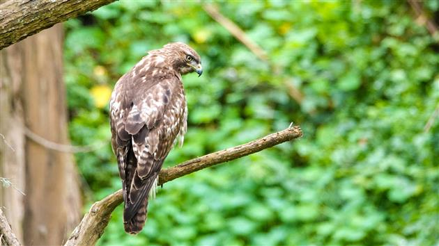 Red-tailed hawk in Stern Grove