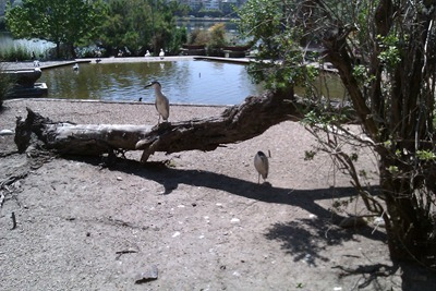 Birds at Lake Merritt