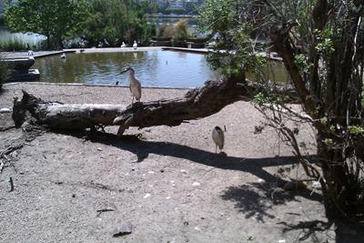 Birds at Lake Merritt