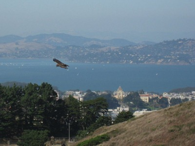 Red-tailed Hawk above Twin Peaks in San Francisco