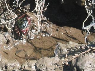 Striped shore crab at Drakes Estero