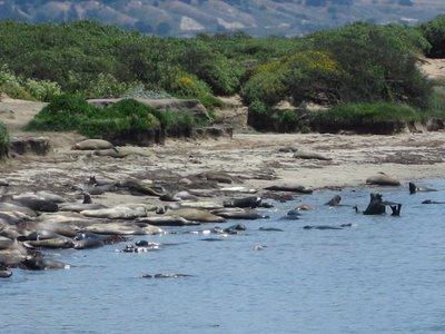 Elephant Seals at Año Nuevo
