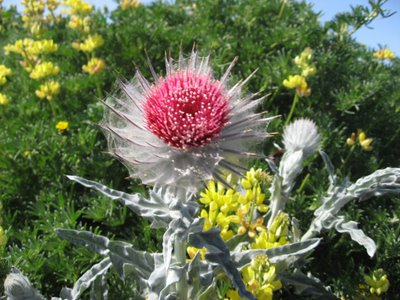 Some sort of silver thistle thing